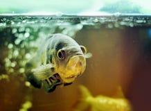 Pet Fish Royalty Free Stock Image