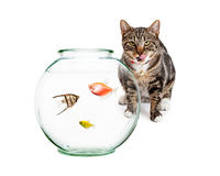 Pet Fish With Hungry Cat in Background Stock Image