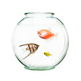 Pet Fish In Round Bowl. Bowl of pet fish including an angelfish and goldfish Royalty Free Stock Photography