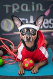 Pet Fitness , sport and lifestyle concept. Funny dog in sportswear in training, portrait in studio. Surrounded by sports equipment stock image