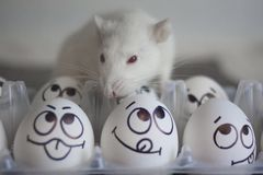 Pet food concept. white rat. The mouse sits on chicken. Eggs with attractive faces royalty free stock photo