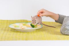 Pet food. proper nutrition. healthy food mouse eats broccoli. And carrots on a plate royalty free stock images