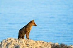 Pet fox Stock Photos