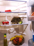 Pet in the fridge. A guinea pig looking for food inside a refrigerator eating vegetables Stock Image
