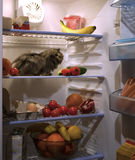 Pet in the fridge. A guinea pig looking for food inside a refrigerator eating vegetables Stock Images