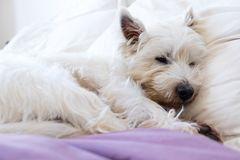Pet friendly accommodation: west highland white terrier westie d. Og asleep on pillows and duvet on bed stock photos