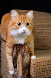 Pet and furniture. As our beloved pets are destroying the upholstery on the furniture Stock Image