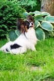 Pet in the garden. Dog of the breed Papillon on the lawn in the garden Royalty Free Stock Photos