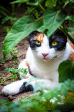 Calico cat in garden Stock Photography
