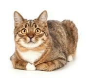 pet Gato isolado em um fundo branco fotos de stock