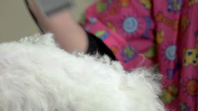 Pet getting haircut, female hand. stock footage