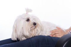 Pet and girl. Pet an his owner on white background Stock Photos