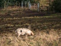 Pet Gloucester Old Spot in Woodland Stock Photos