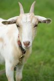 Pet goat Stock Images