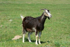 Pet goat Royalty Free Stock Photography