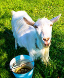 Pet goat. Animal pet goat milk horns Royalty Free Stock Images