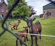 Pet goats in the garden. Portrait of a pet goat and its baby, they look inquisitively in the camera, metal fence as a framing blurred in the foreground Royalty Free Stock Images