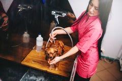 Pet governare, lavaggio del cane nel salone del groomer immagini stock libere da diritti