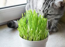 Pet grass, Cat grass. Cat is eating a cat grass. Natural hairball treatment royalty free stock photography