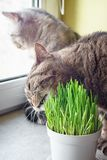 Pet grass, Cat grass. Cat is eating a cat grass. Natural hairball treatment stock images