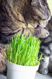 Pet grass, Cat grass. Cat is eating a cat grass. Natural hairball treatment royalty free stock photo