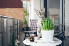 Pet grass, Cat grass. Beautiful Devon Rex cat is sitting on a private terrace Stock Images