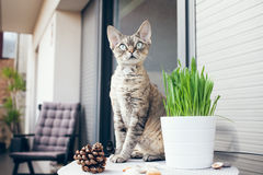 Pet grass, Cat grass. Cat is walking on a balcony and smelling the fresh air Stock Photos