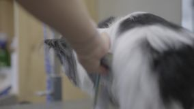 Pet groomer που κτενίζει τη μικρή χνουδωτή τρίχα σκυλιών με τη χτένα στο σαλόνι groomers Επαγγελματικοί ζωικοί κούρεμα και προσδι απόθεμα βίντεο