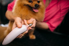 Pet groomer cleans claws of a dog. In grooming salon. Professional groom and hairstyle for domestic animals royalty free stock photography