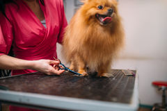 Pet groomer cuts with scissors claws of a dog Royalty Free Stock Images