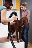 Pet groomer drying hair of dog after washing stock photos