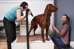 Pet groomer drying fur of dog after washing stock photography