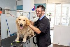 Pet groomer grooming dog washing in pet washing salon. Male pet groomer washing and cleaning a golden retriever in grooming salon in keeping your animals clean stock images