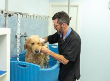 Pet groomer grooming dog washing in pet washing salon. Male pet groomer washing and cleaning a golden retriever in grooming salon in keeping your animals clean royalty free stock photo