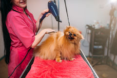 Pet groomer with hair dryer, dog in grooming salon. Pet groomer with a hair dryer, dog washing in grooming salon. Professional groom and hairstyle for domestic stock photography