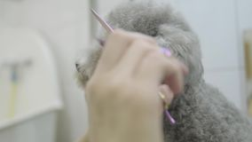 Pet groomer hand cuts hair near the eyes of small gray dog hair with scissors in groomers salon close up. Professional stock video