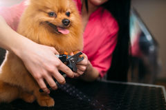 Pet groomer hands cuts with clippers claws of dog. Pet groomer hands cuts with clippers claws of a dog, puppy washing in grooming salon. Professional groom and stock image