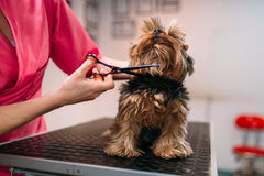 Pet groomer makes grooming dog. Hairstyle for domestic animal. Professional groom and cleaning service stock image