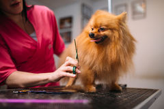 Pet groomer makes grooming dog. Hairstyle for domestic animal. Professional groom and cleaning service royalty free stock images