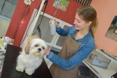 Pet groomer spraying dog. Groom royalty free stock photo