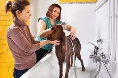 Pet groomer washing dog from the shower. At salon, owner calming her dog stock photos