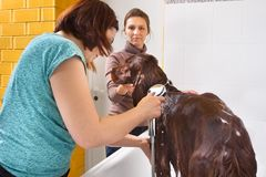 Pet groomer washing dog from the shower at salon stock images