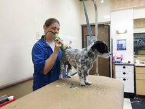 Pet Groomer Working On A Dog royalty free stock image