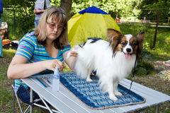 Pet Grooming. Woman prepares a dog of breed papillon for an show stock photos