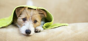 Free Pet Grooming Concept, Web Banner Of A Furry Happy Dog Puppy With Towel Royalty Free Stock Photography - 173144757