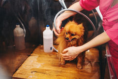 Pet grooming, dog washing in groomer salon. Professional groom and hairstyle for domestic animals royalty free stock photography