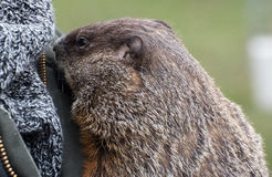 Pet groundhog Stock Photo