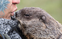 Pet groundhog Stock Image