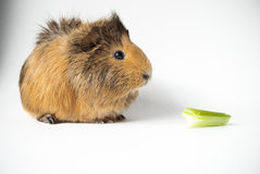 Pet guinea pig and celery on white background Royalty Free Stock Photo