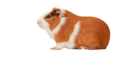 Pet Guinea pig isolate Stock Images